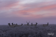 A Morning Gathering (facebook.com/michaelpaulphotoworks) Tags: morning sunrise pastel sage frost autumn wyoming weather colors pink purple wildlife elk calm clouds wilderness country grandtetonnationalpark americanwest nikon
