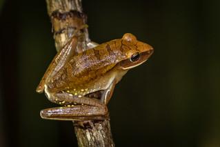 Perereca-araponga (Hypsiboas albopunctatus)