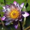 IMG_0191edited.psd (sherri_lynn) Tags: waterlily gibbsgardens lily lilies flowers macro nature garden gardens lilypond georgiaflowers