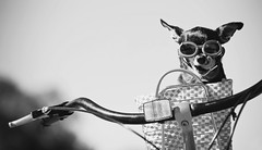small dog in sunglasses or goggles sitting in bicycle basket licking his nose toned with a retro vi (Share the Road NZ) Tags: activity animal app bag bar basket bicycle bike canine chihuahua clothes cruising curious cute dog doggles fashion filter fun glasses goggles handle happy hot instagram licking nose park paw pedigree pet puppy reflector retro ride road small sport summer sun sunglasses sunny toy transport transportation travel trip vacation vintage white