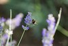 Abelha (Carlos Santos - Alapraia) Tags: ngc ourplanet animalplanet canon nature natureza wonderfulworld highqualityanimals unlimitedphotos fantasticnature macro abelha bee