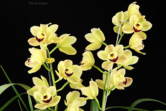 Cymbidium Louies Pride Smiley 1800 (Harlz_) Tags: cymbidiumlouiespridesmiley cymbidium orchid hybrid