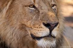 IMGP7856 Close up of the king (Claudio e Lucia Images around the world) Tags: lion lions closeup portrait king kingofsavana kingofjungle feline carnivore bostwana tuli tuliblock mashatu mashatugr mashatugamereserve sigma sigma150500 pentax pentaxk5