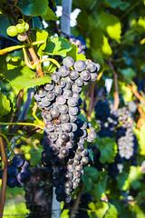 ...ein guter Jahrgang (marko-DD) Tags: trauben wein vino licht leaves laub herbst blau rotwein