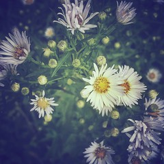 Asters, being vague in the morning light... (BMZYGrace) Tags: flowers purple white blooming blossom bloom asters gardening