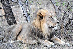 The Master. (pstone646) Tags: lion animal feline nature bigcat africa wildlife fauna safari mammal southafrica
