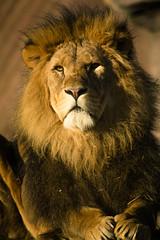 Photo of Panthera leo