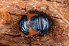Jewel Bug (zosterops) Tags: australia tasmania coningham canoneos6d canonmacrolensmpe65 macro insecta hemiptera choerocorispaganus scutelleridae