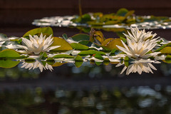 Water Lilies (mclcbooks) Tags: flower flowers floral waterlily waterlilies lilypads water pond reflections denverbotanicgardens colorado summr