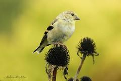 Goldfinch bird (NaturewithMar) Tags: goldfinch bird macro coth5
