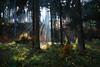 Oktober (michaelmueller410) Tags: fall autumn herbst wald bäume nebel licht strahlen laub leaves woods ray rays fog mist forest trees tree spruce beech fichten buchen harz
