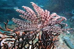 Feather star (sarah.handebeaux) Tags: raja ampat indonesia diving reef