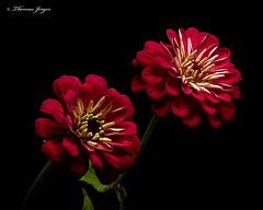 Zinnia Pair 1008 Copyrighted (Tjerger) Tags: nature beautiful beauty blackbackground bloom blooming blooms closeup duo fall flora floral flower flowers green macro pair plant portrait red two white wisconsin zinnia couple ivory zinnias natural