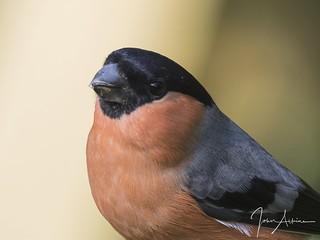 Bullfinch ( male ) portrait 17/10/17