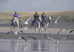 Horses and gulls near Ilwaco, Washington. Day 266 / 365 (Wayne~Chadwick) Tags: washingtoncoast2017