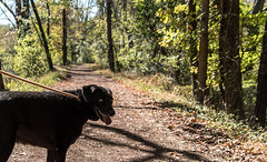 are you coming?? (Dotsy McCurly) Tags: river towpath walkway trees forest woods cute dog amber walk walking nj newjersey nikond750 tamron18400mmf3563 7dwf fauna bokeh dof