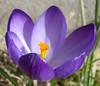 crocus (helena.e) Tags: helenae blomma flower krokus crocus lila purple macro