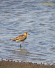 Pacific golden plover (non-breeding plumage) (A. K. Hombre) Tags: pluvialisfulva pacificgoldenplover bird aves dumangas iloilo wader mangrove charadriiformes charadriidae water