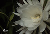 Night Beauty (Bejeweled) Tags: blossoms night blooming cereus flowers offcameraflash tripod