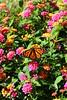 Monarch on a flower (pegase1972) Tags: us usa dc washington flower monarch butterflies butterfly licensed papillon fleur nature dreamstime shutter rf123 123rf