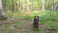 Sedum - 9/21/17 (myvreni) Tags: vermont summer nature outdoors animals dogs cairnterriers pets