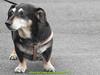gio_k2_2017_08_364 (giordano torretta alias giokappadue) Tags: abetone bassotto cane