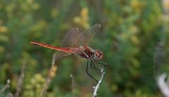 Red-veined Darter - male      (Explored)   26-10-2017 (nick.linda) Tags: 12inexplore redveineddarterdragonfly maleredveineddarterdragonfly odonata insects dragonflies canon7dmkii canon100400