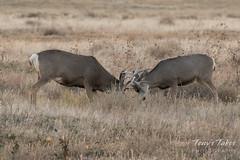 Mule Deer bucks battle