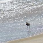 Sanderling - Robert Moses State Park, NY thumbnail
