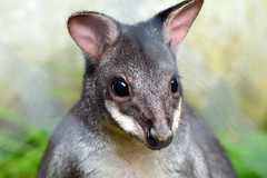 Dusky pademelon (James L Taylor) Tags: exmoor zoo 251017
