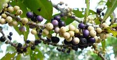 rapanea.porosa.fruiting (dave.kimble) Tags: myrsine myrsineporosa northernmuttonwood primulaceae arfp ntrfp cyrfp qrfp tropicalarf lowlandarf uplandarf arffs blackarffs purplearffs whitearffs