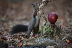 Ohh.... Thanks my God !!! (carlo612001) Tags: apple red squirrel black hairy cute lovely thanksgiving thanks gift food fruit fruiys eat wood forest joy joyful leaves autumn foliage animals nature