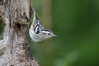 Black and White Warbler 072417a copy