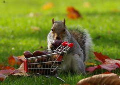 grey squirrel  with shopping trolley cart  in park autumnleafs on grass . (30) (Simon Dell Photography) Tags: sheffield botanical gardens city park 2017 simon dell photography pan statue wood spirit god woods grey squirrel cute awesome funny countryfile springwatch autumn fall leafs uk england october weatjher seasonal with shopping cart trolley micro toy model coke bottle coca cola knuts conkers photo pic