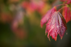 In yesterday's rain (Jan.Timmons) Tags: select autumnmapleleaves mapleperhaps autumnhues rainyday walkingintherain joy pacificnorthwest jantimmons decreasedredhues