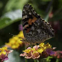 CommonBuckeye_SAF2504-1 (sara97) Tags: butterfly copyright©2017saraannefinke insect missouri nature outdoors photobysaraannefinke pollinator saintlouis towergrovepark
