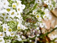 Hoverfly in Alyssum (starmist1) Tags: hoverfly bug entomology strawberrypot carpetofsnow alyssum leaves stems buds frontyard maggiesgarden flowergarden autumn fall october