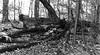 North Woods VII _ bw (Joe Josephs: 3,166,284 views - thank you) Tags: centralpark fineartphotography nyc newyorkcity travel travelphotography urbanlandscape autumn autumnleaves autumnal fallcolors fallfoliage foliage joejosephs outdoor outdoorphotography urbantravel urbanexlporation urbanparks â©joejosephs2017 forest woods monochrome blackandwhite blackandwhitephotography ©joejosephs2017