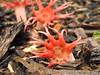Aseroe rubra (Jackson Nugent) Tags: aseroe rubra stinkhorn mushroom fungus fungi basidiomycota basidiomycete macro red phallaceae