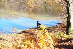 tópart / lake shore (debreczeniemoke) Tags: ősz autumn túra hike erdő forest tó lake tópart shore bóditó afernezelyibóditó laculbodidinferneziu kutya dog frakk erdélyikopó transylvanianhound olympusem5