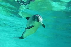 Bruinvis (wjpostma) Tags: bruinvis phocoenaphocoena gewöhnlicherschweinswal harbourporpoise marsopacomún marsouincommun marsvin whale walvis ecomare