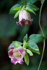 ツルニンジン Deodeok (takapata) Tags: sony sel90m28g ilce7m2 macro flower nature