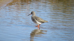 Redshank (hedgehoggarden1) Tags: redshank birds wildlife wader nature canonpowershotsx50hs bridgecamera titchwell rspb eastanglia norfolk uk