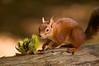 Red squirrels (Rupinder Khural) Tags: day beautiful island community explore innocent cute wildlife nature zoomlens tree uk squirrelpoxvirus animal unitedkingdom season sciurusvulgaris redsquirrel redfur october nativeuk month mammal england nikond300s nikon cameragear autumn