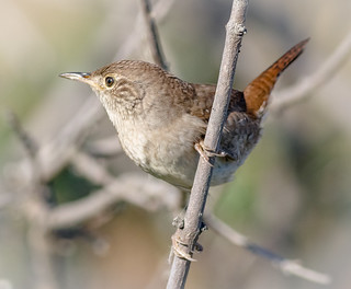 Feisty House Wren