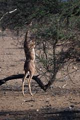 Samburu National Park - Kenya (lens buddy) Tags: samburunationalpark samburu gamereserve kenya africa wildlife nature safari gerenuk gerenukantelope litocraniuswalleri