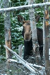 Cache-cache (www.sophiethibault.ca) Tags: orignal safari novembre nature forêtmontmorency canada québec animaux 2017 femelle