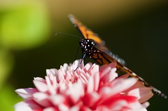 Stopped to smell the Dahlia! (ineedathis, Everyday I get up, it's a great day!) Tags: monarch female butterfly life insect πεταλουδα λεπιδοπτερα lepidoptera love newborn danausplexippus macro nature garden autumn closeup black yellow nikond750 wings dahlia flower plant green orange white balck bokeh