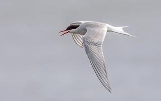 JWL5339  Arctic Tern..