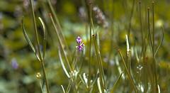IMG_4547-2 (Shahriar Arifin) Tags: weeds flower purple grassflower green garden field wild nature naturephotography natural beauty
